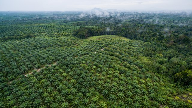 The Livelihood Impacts of Oil Palm: Smallholders in Indonesia